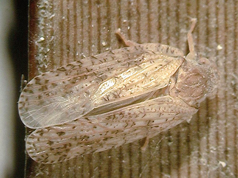 Leafhopper factsheet